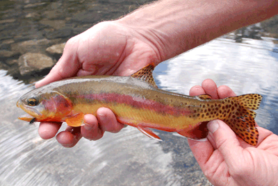 Golden trout fly fishing in yosemite